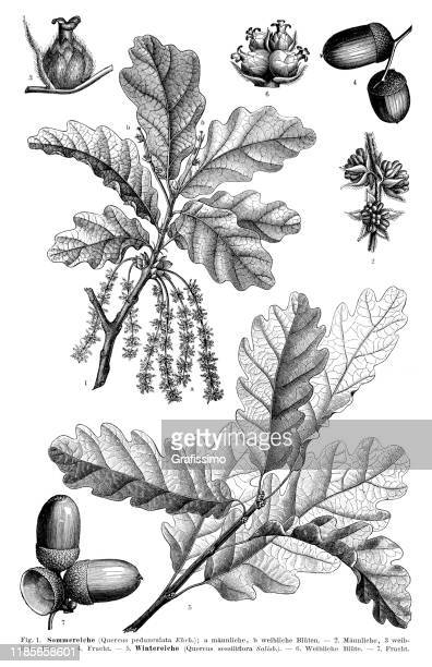 english oak leaf and seed 1897 - etching stock illustrations