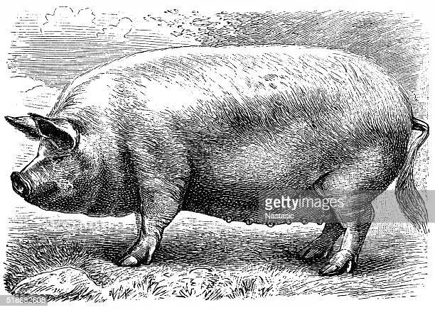 english pig - pig stock illustrations