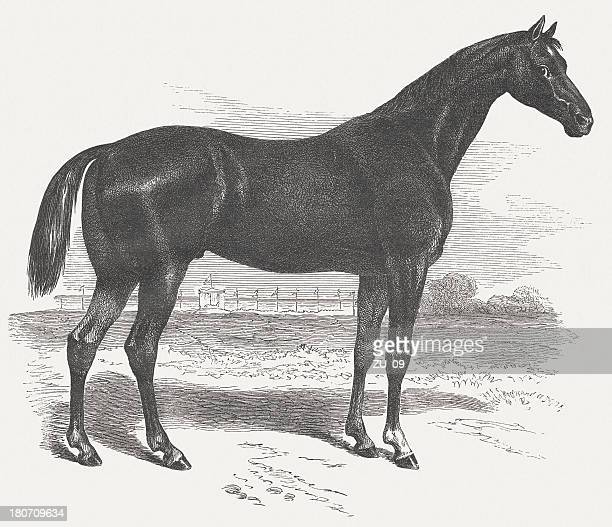 english thoroughbred horse ,wood engraving, published in 1875 - arabian horse stock illustrations, clip art, cartoons, & icons
