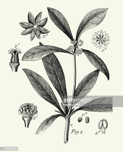 骨董品を刻み、多くの家族の栽培植物、主に装飾彫刻アンティークイラスト、1851年出版 - スターアニス点のイラスト素材/クリップアート素材/マンガ素材/アイコン素材