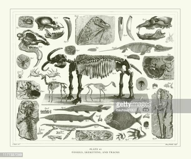 ilustrações de stock, clip art, desenhos animados e ícones de engraved antique, fossils, skeletons, and tracks engraving antique illustration, published 1851 - dinossauro desenho