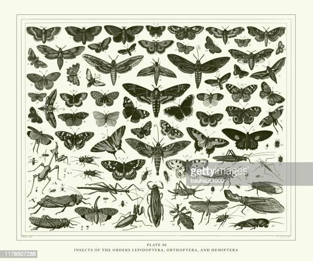 engraved antique, insects of the orders lepidoptera, orthoptera and hemiptera engraving antique illustration, published 1851 - {{relatedsearchurl('racing')}} stock illustrations, clip art, cartoons, & icons