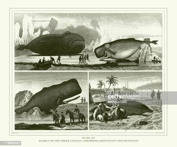 engraved antique, mamels of the order cetacea: suborders odontoceti and mysteceti engraving antique illustration, published 1851 - mammal stock illustrations, clip art, cartoons, & icons