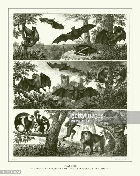 engraved antique, representatives of the orders chiroptera and primates engraving antique illustration, published 1851 - colugo stock illustrations
