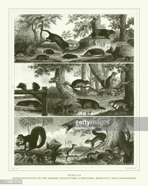 彫刻されたアンティーク、命令昆虫、カルニヴォラ、げっ歯類、ラゴモルファ彫刻アンティークイラスト、1851年発行 - ヤマアラシ点のイラスト素材/クリップアート素材/マンガ素材/アイコン素材