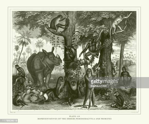 engraved antique, representatives of the orders perissodactyla and primates engraving antique illustration, published 1851 - mandrill stock illustrations, clip art, cartoons, & icons