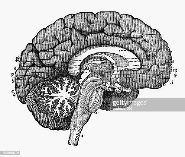 engraved illustration of cross section through the brain, 1880 - temporal lobe stock illustrations, clip art, cartoons, & icons