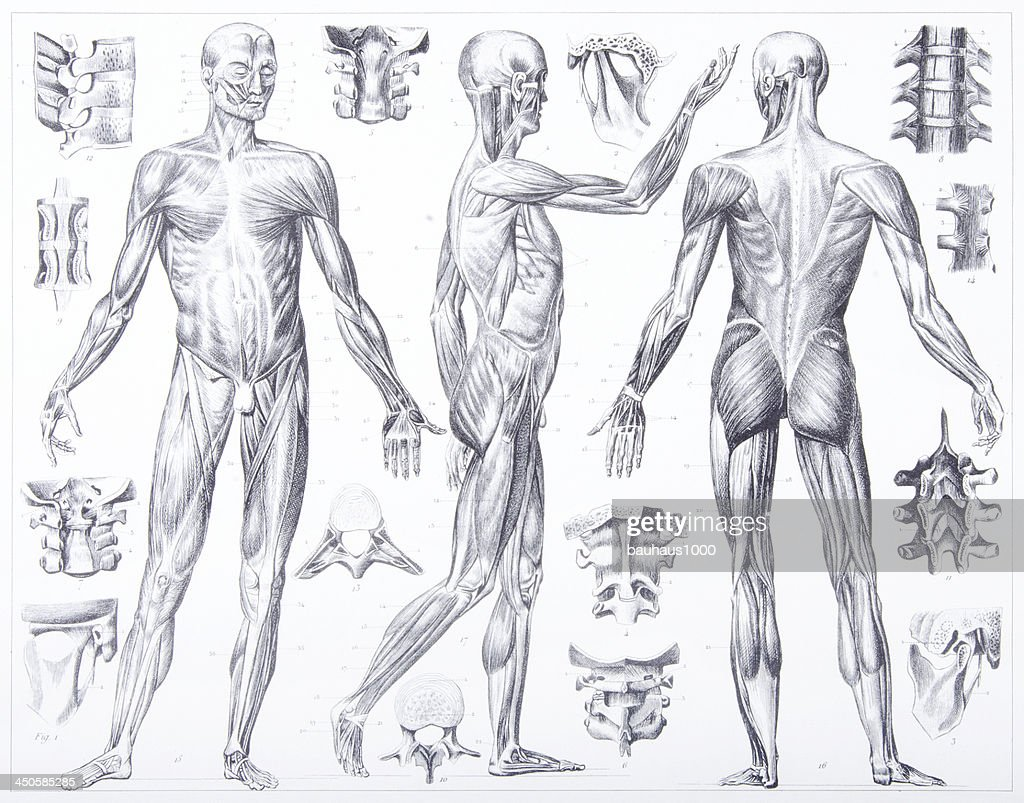 Engraving Anatomy Of Ligaments And Muscles Stock Illustration