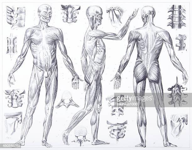 60点の人の筋肉のイラスト素材クリップアート素材マンガ素材