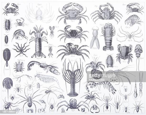 Engraving: Arthropoda & Crustacea