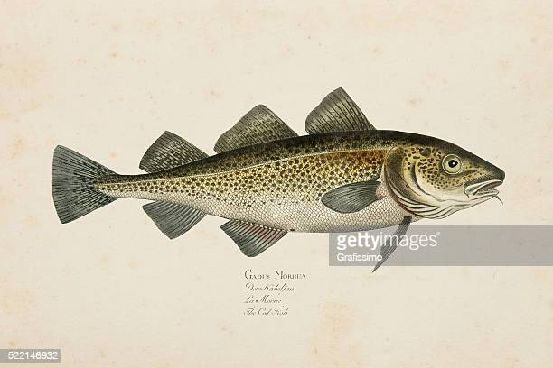 Engraving Atlantic cod fish from 1785