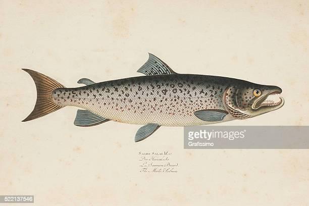 illustrations, cliparts, dessins animés et icônes de gravure de poisson saumon de l'océan atlantique depuis 1785 - saumon