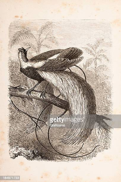 Engraving bird of paradise from 1873