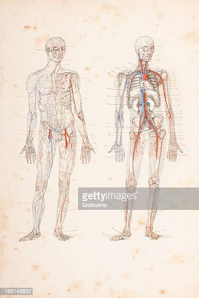 Engraving blood circulation in human body 1882