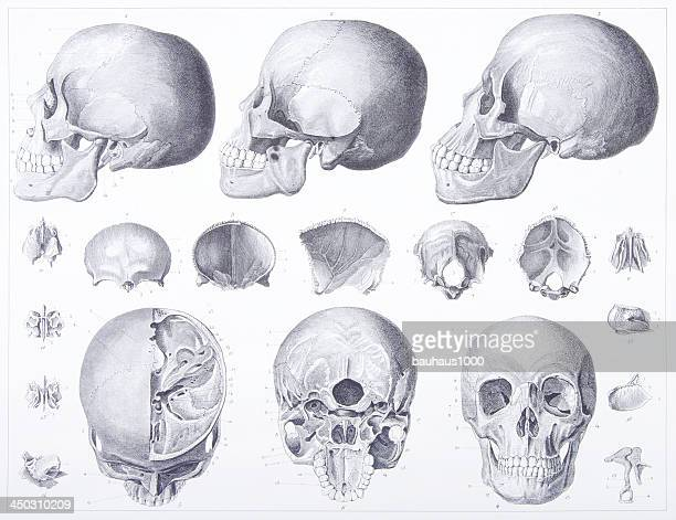 Engraving: Bones of the Head