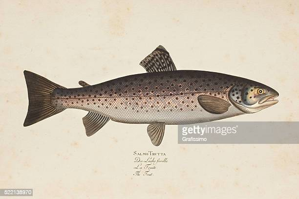 Engraving brown trout fish from 1785