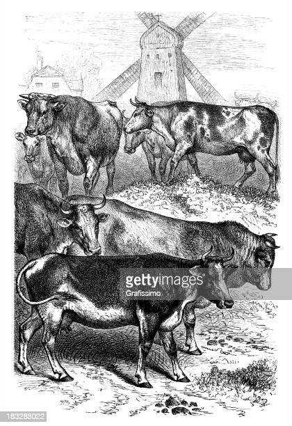 engraving cows in netherland with windmill - mammal stock illustrations, clip art, cartoons, & icons