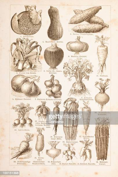 engraving different vegetables from 1882 - onion stock illustrations, clip art, cartoons, & icons