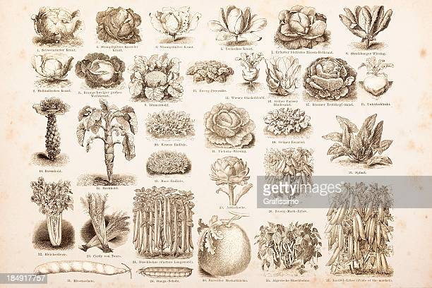 engraving drawings vegetables from 1882 - 18th century stock illustrations