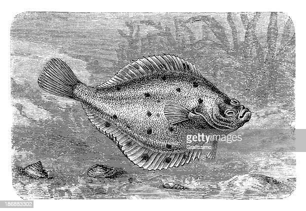 Engraving European flounder Platichthys flesus