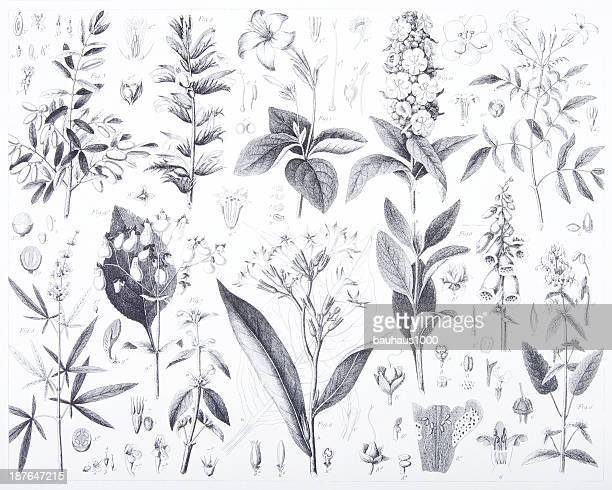 engraving: flowers and plants - mint leaf culinary stock illustrations, clip art, cartoons, & icons