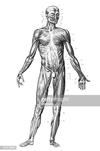 engraving human body with muscles 1851 - biomedical illustration stock illustrations