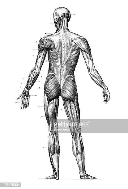 Engraving human body with muscles 1851