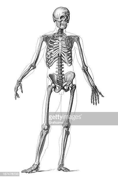 ilustraciones, imágenes clip art, dibujos animados e iconos de stock de esqueleto humano 1851 grabado - esqueleto humano