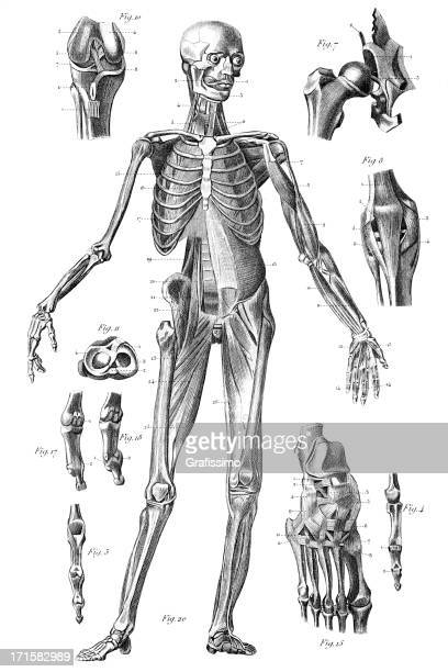engraving human skeleton 1851 - human knee stock illustrations, clip art, cartoons, & icons