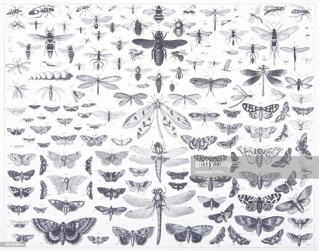 Engraving: Lepidoptera : stock illustration