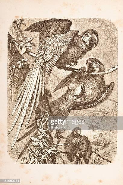 Gravação Arara Casal de 1882