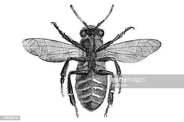 Engraving of bee bottom side