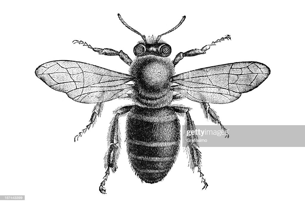 Engraving of bee from above isolated on white : stock illustration