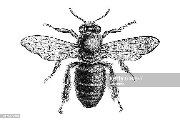 engraving of bee from above isolated on white - antique stock illustrations