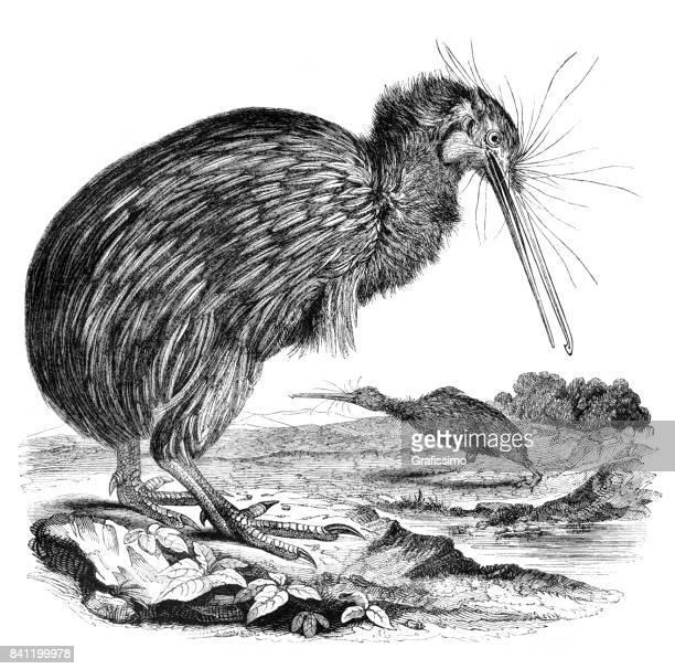 ilustrações, clipart, desenhos animados e ícones de gravura de pássaro kiwi na nova zelândia, 1842 - animais em extinção