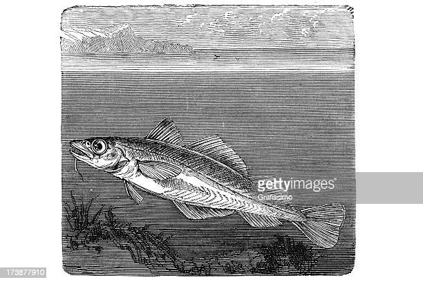 Engraving of codfish