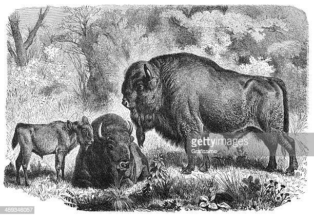 engraving of european bison family from 1877 - european bison stock illustrations, clip art, cartoons, & icons