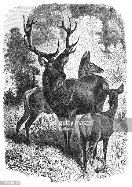 engraving of red deer family from 1877 - stag stock illustrations