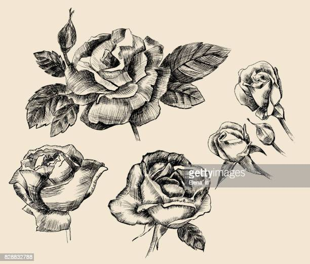 engraving of rose buds and flowers - rose petals stock illustrations, clip art, cartoons, & icons