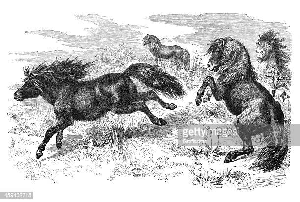 Engraving of Shetland pony from 1877
