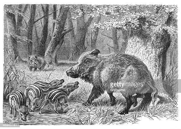 Grabado de los jabalíes con cochinillos en 1877
