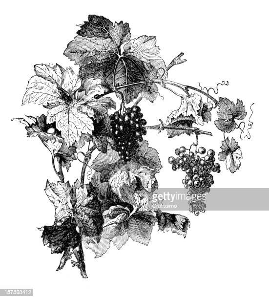 engraving of wine grapes with leafes - vine stock illustrations