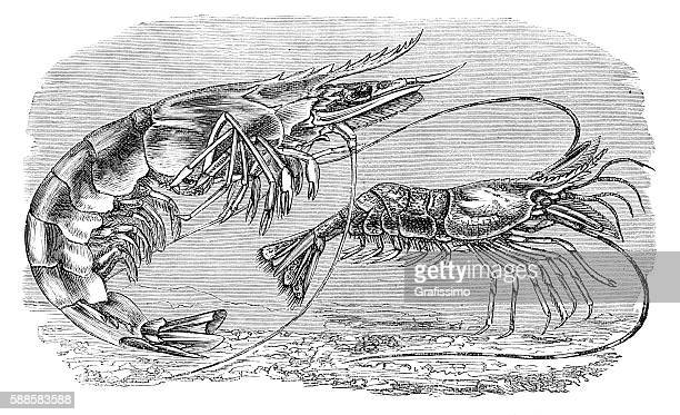 Engraving Prawn shrimp 1881