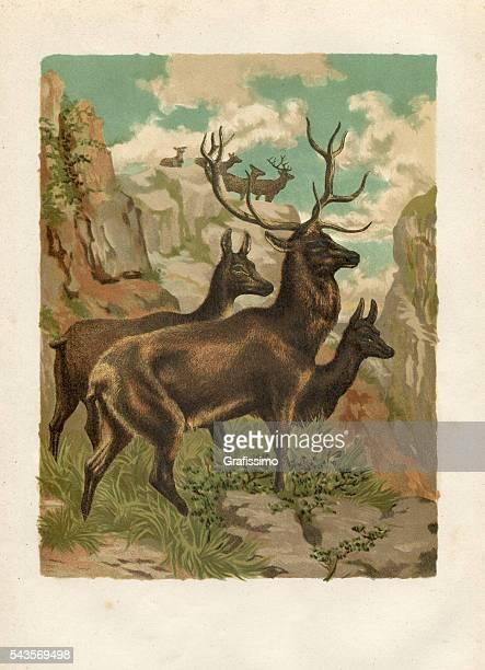Engraving red deer ( Cervus elaphus ) 1880