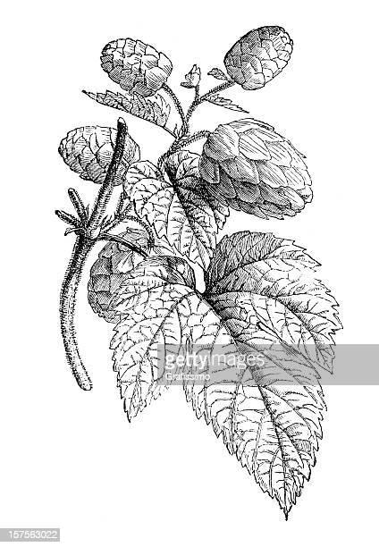 Engraving showing hop plant illustration 1882
