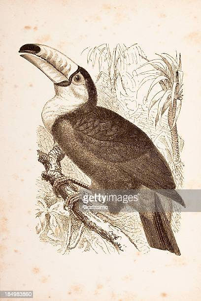 ilustrações, clipart, desenhos animados e ícones de entalhes floresta tropical com tucano-toco de 1877 - gravura