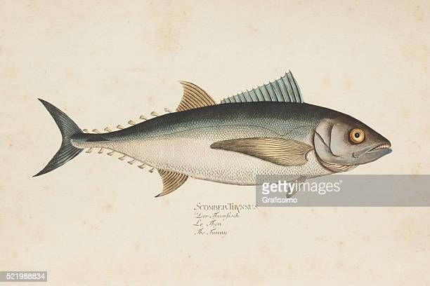 engraving tuna fish tunny from 1785 - fish stock illustrations