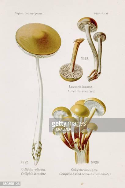 enoki collybia mushroom 1891 - enoki mushroom stock illustrations