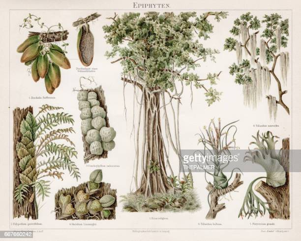 epiphytes chromolithograph 1895 - epiphyte stock illustrations