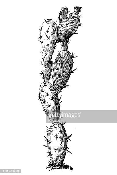 Erect prickly pear and nopal estricto ,Opuntia stricta